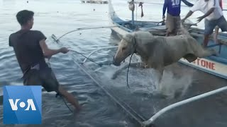 Philippine Locals Rescue Stranded Horses From Taal Volcano Island