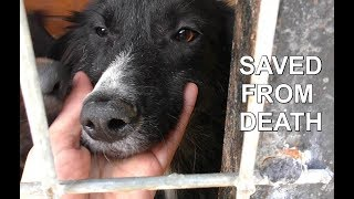 DOG DEATH CAMP RESCUE   Border Collie puppies saved from hell hole