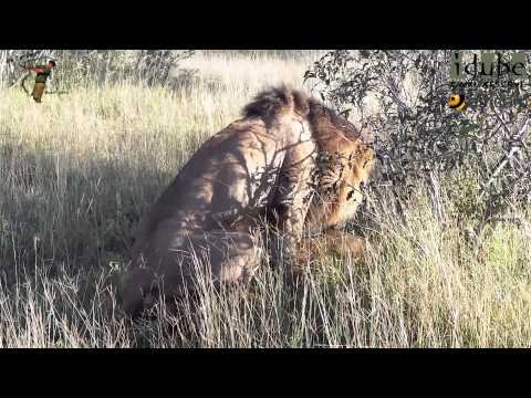 WILDlife: Lion Action #youtubeZA from YouTube · Duration:  57 seconds