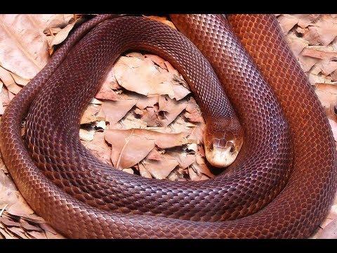 Snake bites in Papua New Guinea - ABC Radio