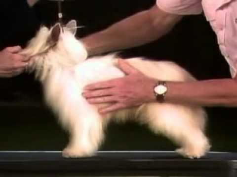 Chinese Crested Breed Standard [Part 3 of 5]