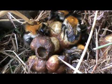 hummelnest bumblebee nest youtube. Black Bedroom Furniture Sets. Home Design Ideas