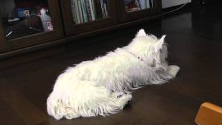 Our Westie, Princess Having A Hypoglycemic Seizure (viewer Discession Is Advised)