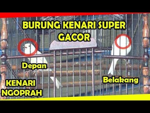 Download Lagu LOMBA KICAU BURUNG KENARI – KONTES KENARI PUTIH NGOBRA BONGKAR ISIAN FULL