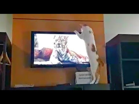 'Where's that Tiger?!' CAT TRYING TO FIND TIGER BEHIND TV! 🐯📺