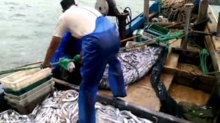 漁人的搏鬥 北竿橋仔漁民白帶魚大豐收 攝影 陳鵬雄