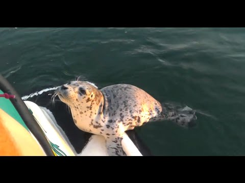 Baby Seal Helps