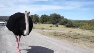 おかしいダチョウのビデオ面白いダチョウビデオ