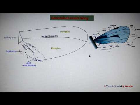 Lecture 6: Insect wings & wing coupling mechanisms