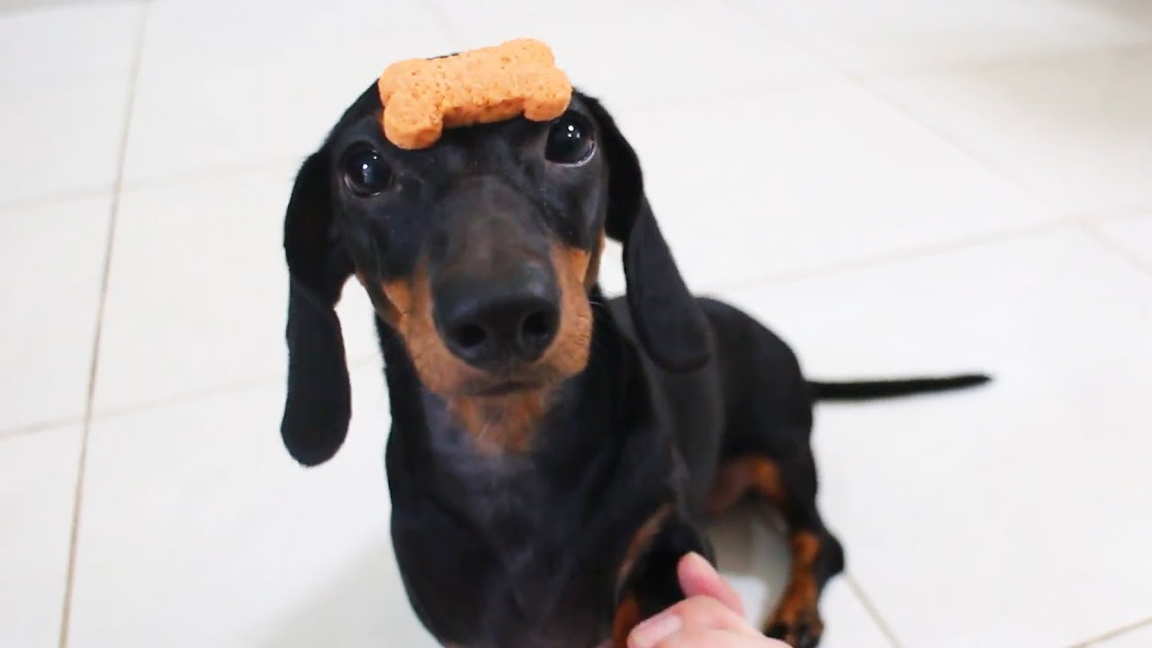 Funny And Cute Dachshunds Compilation! Smart Dogs Doing Tricks!