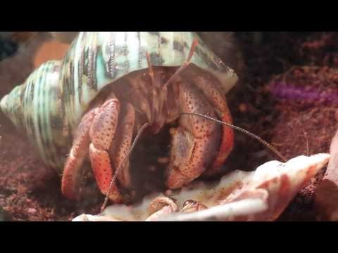Hermit Land Crab eating