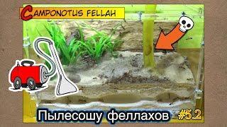 Пылесошу африканских гигантов ● Camponotus fellah