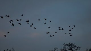 Watch as a mob of birds turn chaos into ...