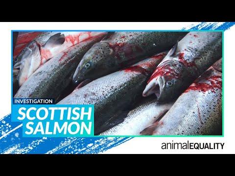 Investigation: Scottish Salmon | Animal Equality UK
