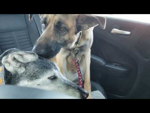 German Shepherd Husky Mutt escapes scary vet visit + Freedom ride