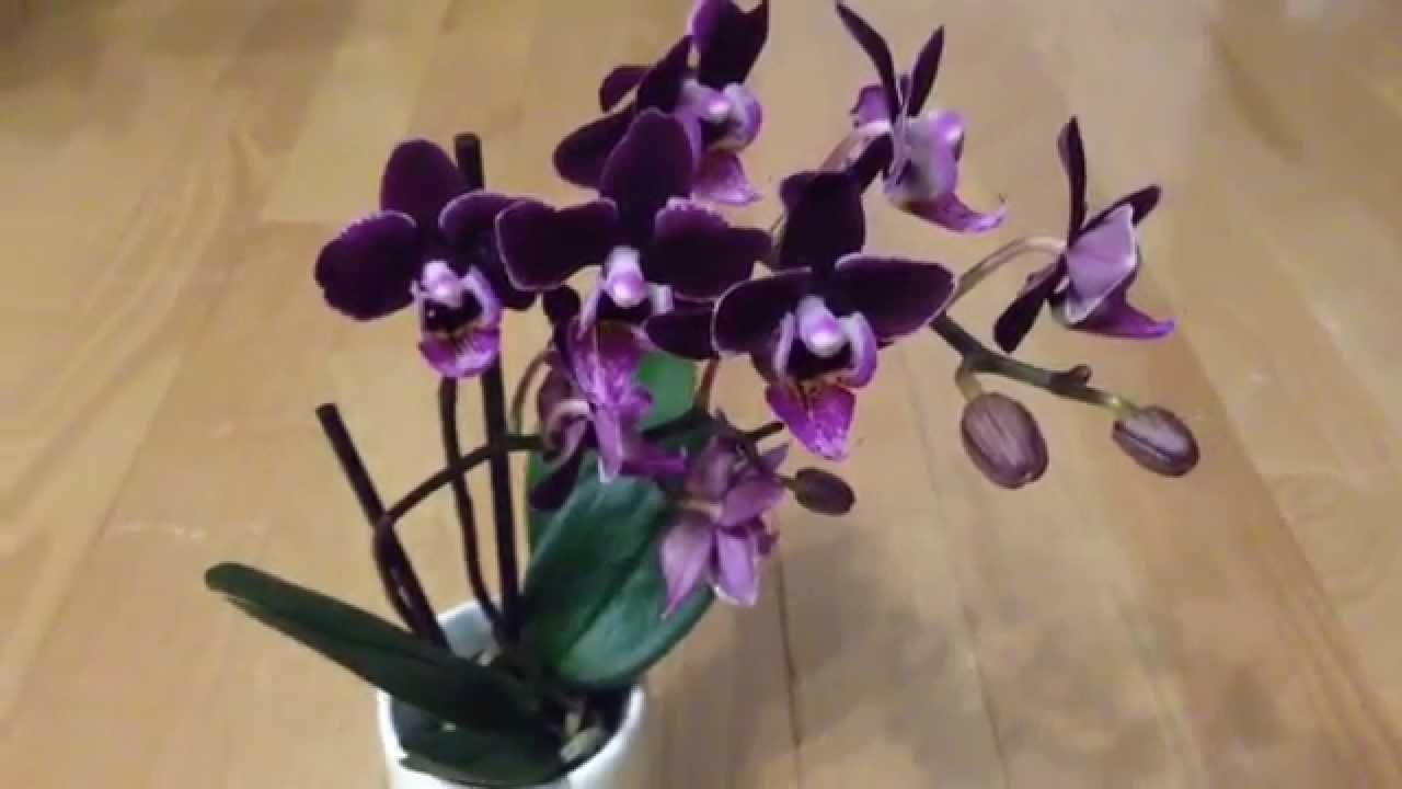 2014 03 25 Dark Purple Mini Amp Peloric Peach Phals Youtube