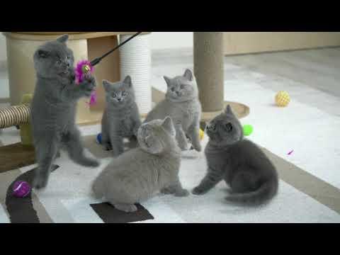 Британские котята в возрасте 2 месяца (Litter- О2)