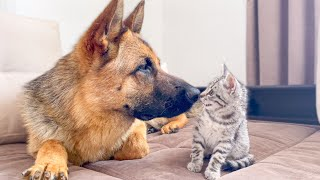 German Shepherd playing with a new baby Kitten for the First Time