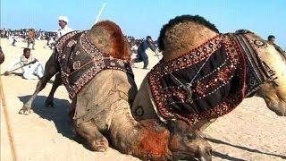 Kamelkämpfe: Pakistans verbotene Tradition