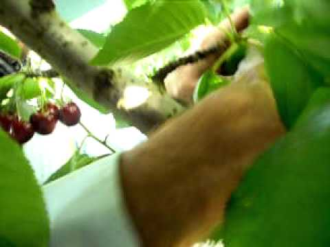 Extremely Fast cherry picking from an experienced cherry picker