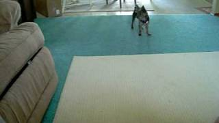 German Shorthair Pointer Vs. Yorkshire Terrier