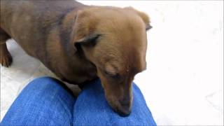 Adopted! Sloane, Dachshund For Adoption At Forget Me Not Animal Shelter