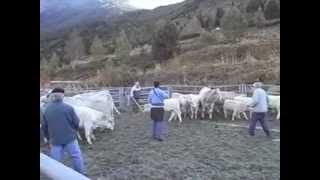 tri des vaches et veaux au parc