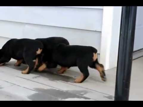 rottweiler de vanzare caini de paza youtube. Black Bedroom Furniture Sets. Home Design Ideas