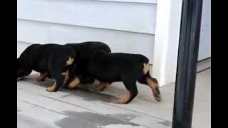Rottweiler De Vanzare - Caini De Paza