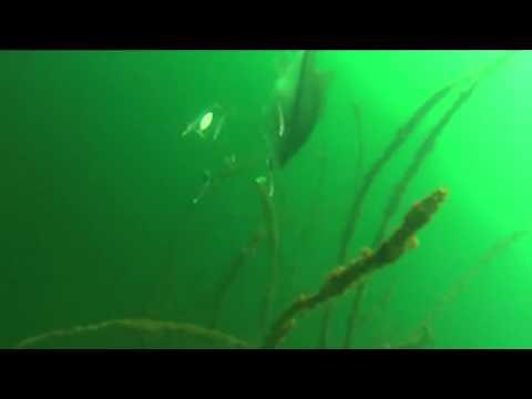 Umbrella Rig Underwater Footage - HOOKS REMOVED - Chris Zaldain - Megabass - Seaguar