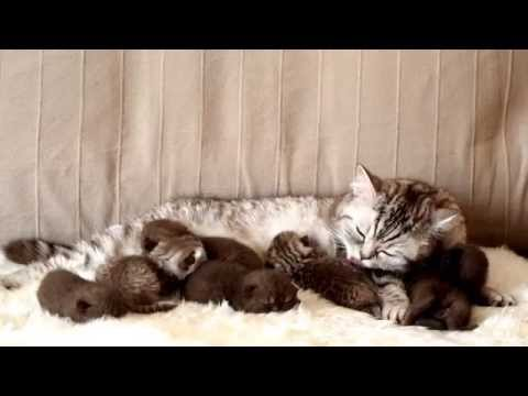 Британским котятам 8 дней.