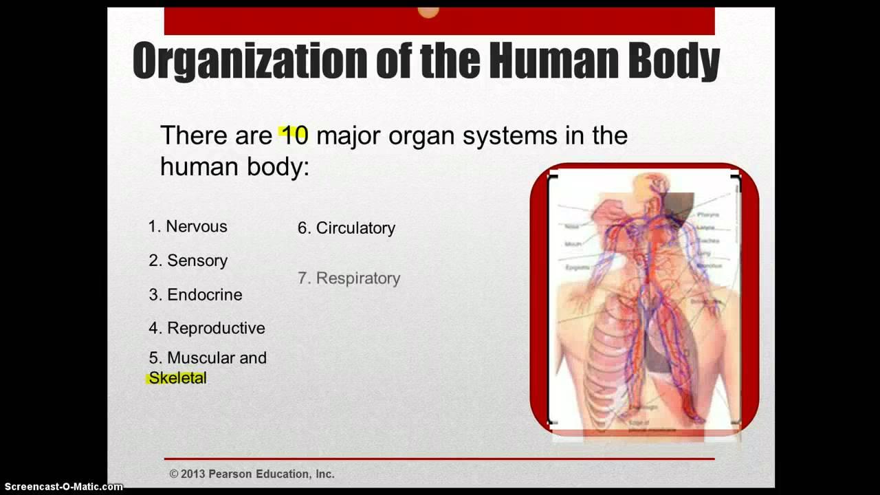 Charmant Menschliche Anatomie Und Physiologie Marieb 6. Ausgabe Pdf ...