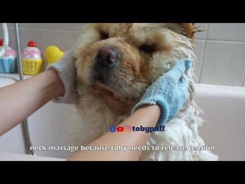 CHOW CHOW BATHING CUTE !!!
