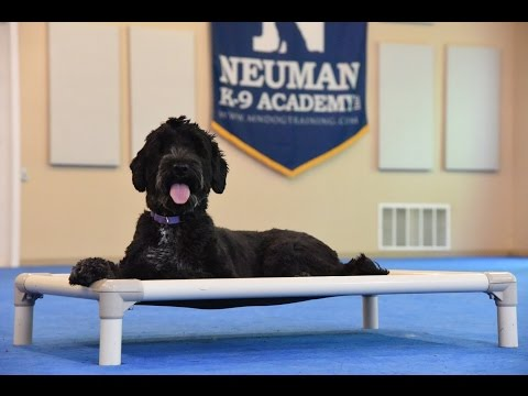 Nixie (Portugese Water dog) Boot Camp Dog Training Video