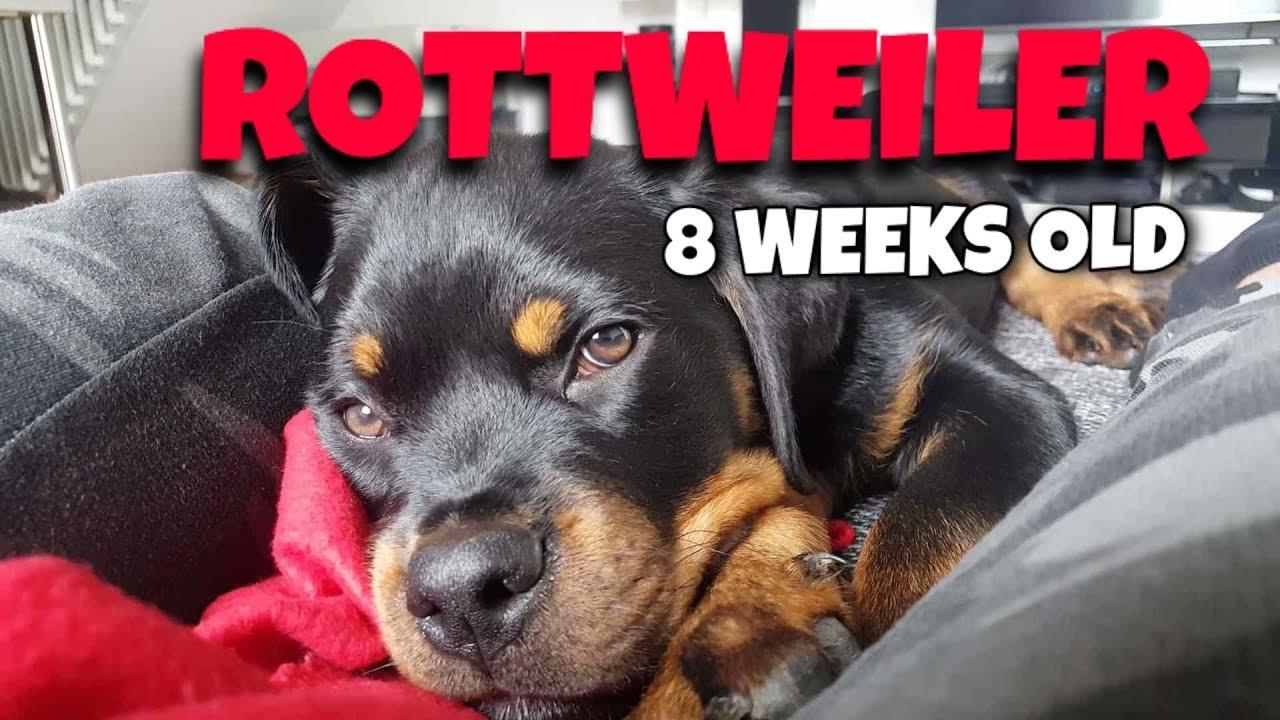 Sleepy Rottweiler Puppy  -  8 weeks old  [1080p]