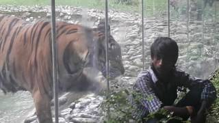 Tiger attacked the man in Alipore Zoo, Kolkata