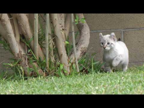 Exotic kittens - Lynx Hybrid kittens I have 4 left