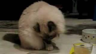 Perry The Tuna Paw Birman Cat