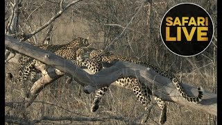safariLIVE - Sunrise Safari - August 14,  2018 thumbnail