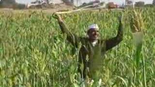 Indian farmer in his millet field chasing away the birds