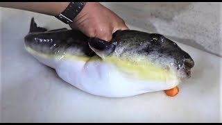 주문진 밀복 2.5kg 회뜨기 pufferfish, balloonfish, blowfish sashimi / Chumunjin, korea [맛있겠다 Yummy]