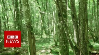 Will Europe's last fairy tale forest survive? - BBC News