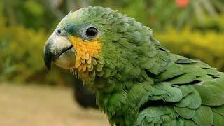 Amazing Talking Baby Amazon Parrot