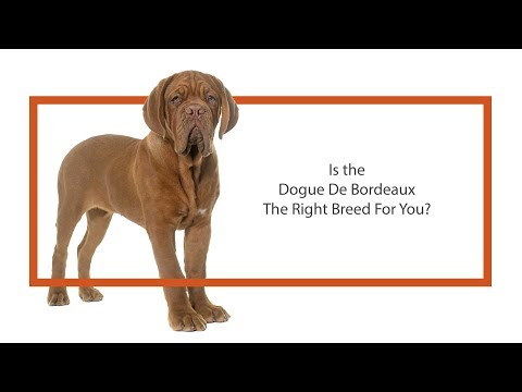 Everything you need to know about Dogue De  Bordeaux puppies! (2019)