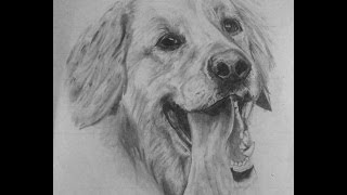 Golden Retriever time lapse drawing