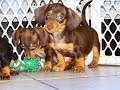 Miniature Dachshund, Puppies, Dogs, For Sale, In Memphis, Tennessee, TN, 19Breeders, Chattanooga