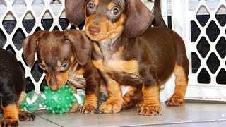 Miniature Dachshund, Puppies, For, Sale, In, Fresno, California, Ca, Stockton, Riverside, Santa Ana,