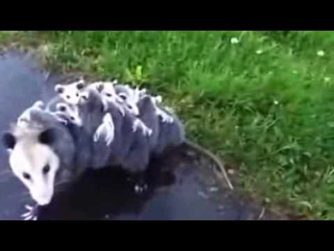 Mommy Opossum Carries 15 Babies