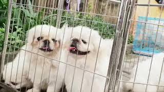 Chó bắc kinh 0793253598