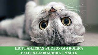 Шотландская вислоухая кошка: рассказ заводчика о породе 1 часть